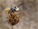 wet white faced wasp by CarolG