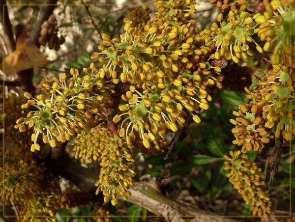 ceratonia siliqua by CarolG