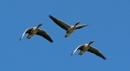 Greylags in flight by oldgreyheron