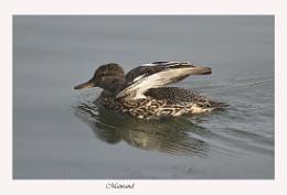 Dazzling Duck