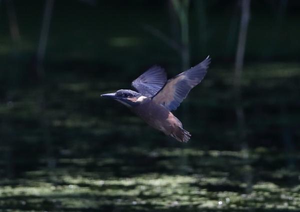 Kingfisher Fledging by NeilSchofield
