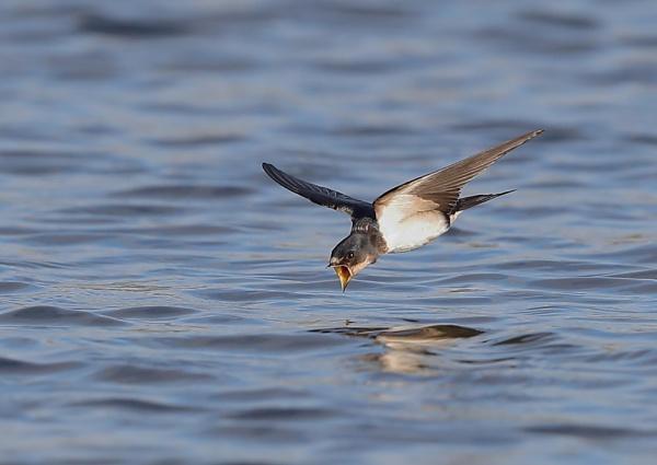 Barn Swallows in Flight by NeilSchofield