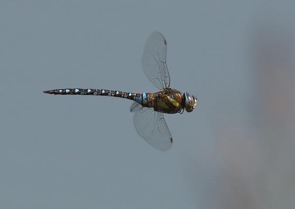 Hawkers in Flight by NeilSchofield