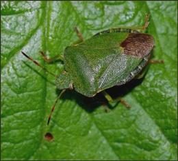 """Green Shield Bug""."