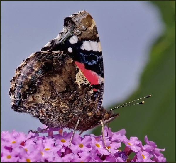 ""\""""Red Admiral Nectaring on a Buddleia"""". by Badgerfred""600|558|?|en|2|849ce4216d83b0a3e77db4aa3d7904fd|False|UNLIKELY|0.3254130482673645