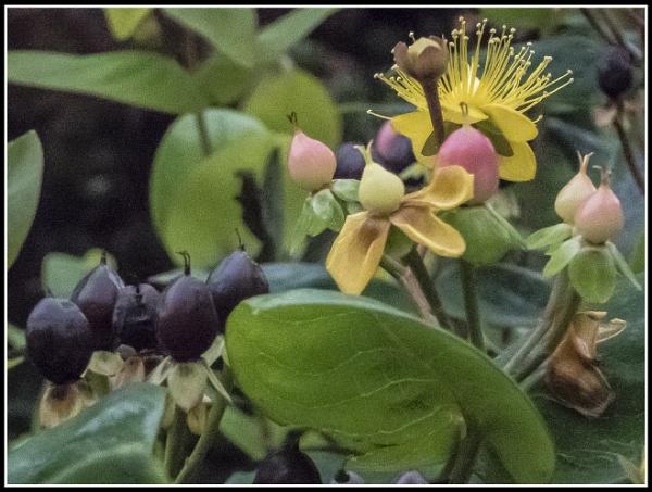 "Hypericum Inodorum \""Elsted\"" by jcolind"