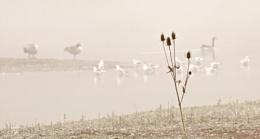 Teazle in the mist .
