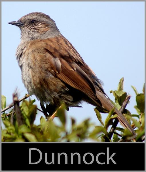 Dunnock by r0nn1e