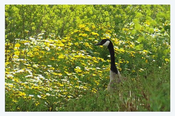Canada goose by prabhusinha