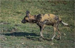 Painted wild dog injured