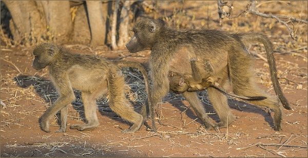 Baboon family walk by ugly