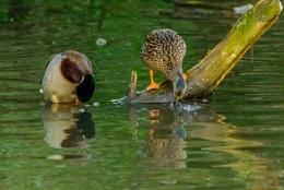 Mallards bathing @ the Moat