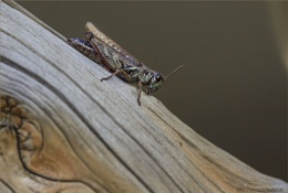Cricket or Grasshopper