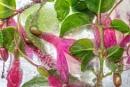 Fuchsia by MandyD
