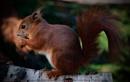 Red Squirrel by SkySkape