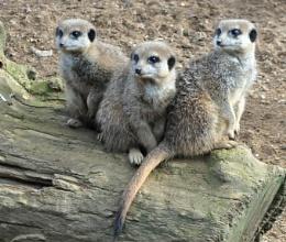 Chester Zoo Meerkats