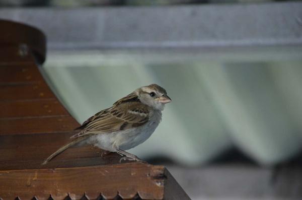 my little sparrow by tashi
