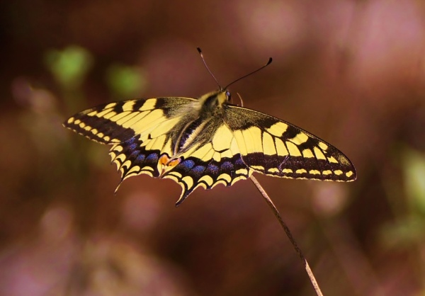 Swallowtail by georgiepoolie