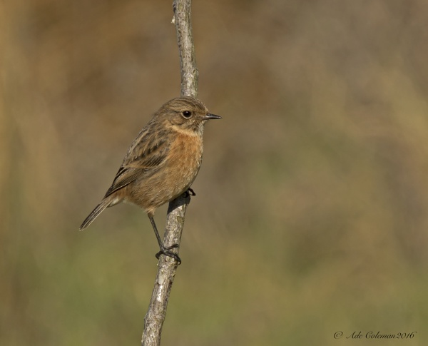 Stonechat (4) 2016 by ade123