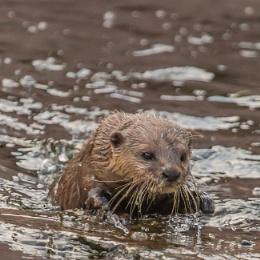 A Short Eared asian Otter