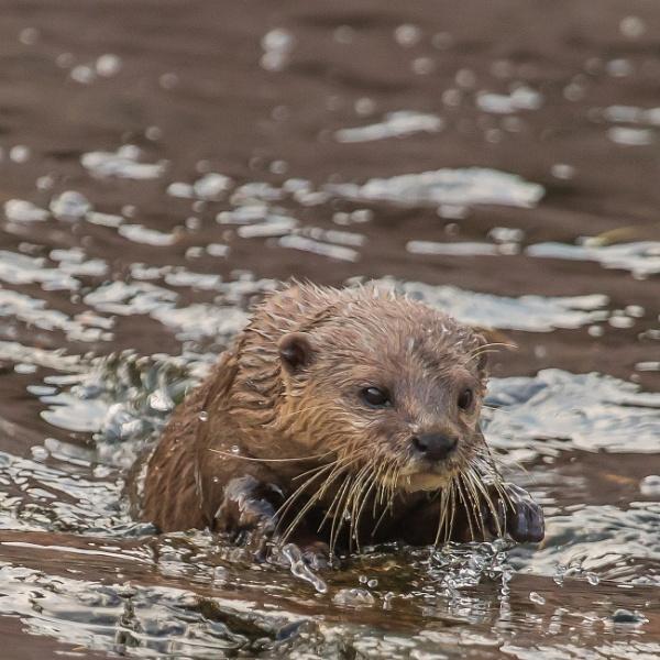 A Short Eared asian Otter by RobertTurley