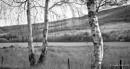 Silver Birch... by Scottishlandscapes