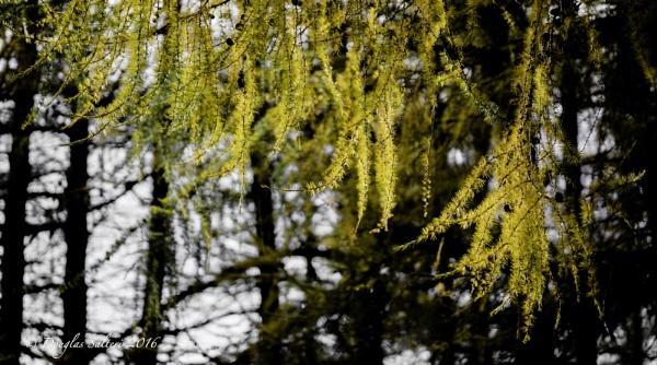 Spruce Fingers... by Scottishlandscapes