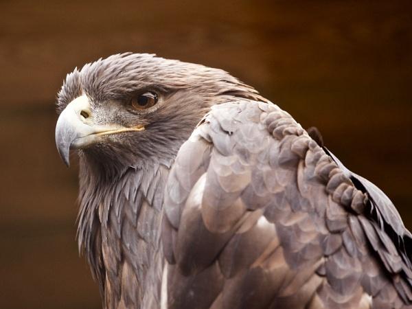 Golden Eagle or Steinadler by hrsimages