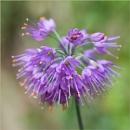 Autumn 7 : Cerium Allium by taggart