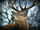 Red Deer portraits. by brandish