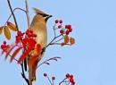 Waxwing--Bombycilla garrulus. by bobpaige1