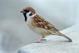 Tree Sparrow--Passer montanus