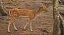 Fallow Deer--Dama dama. by bobpaige1