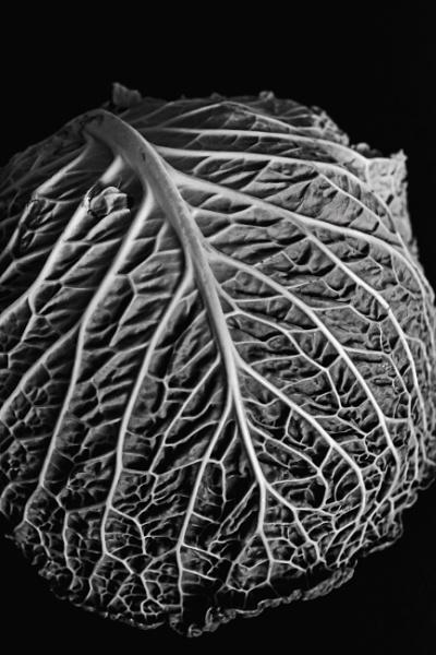 Savoy cabbage leaf by Madoldie
