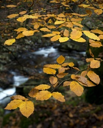 Photo : Autumn Detail, Shaugh Bridge, Devon