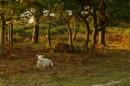 The lamb lies down by alfpics