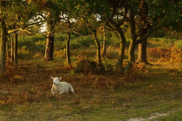 The lamb lies down