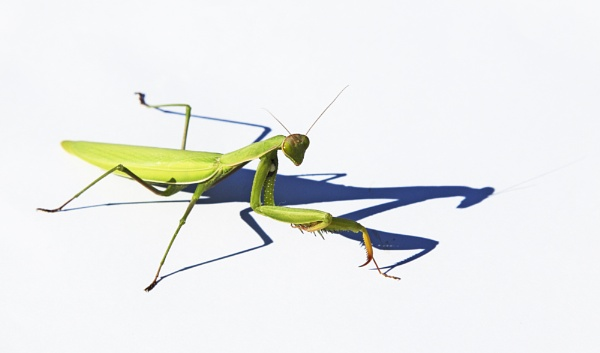 Praying Mantis by Owdman
