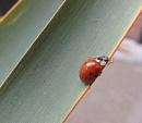 Ladybird by HerefordAnn