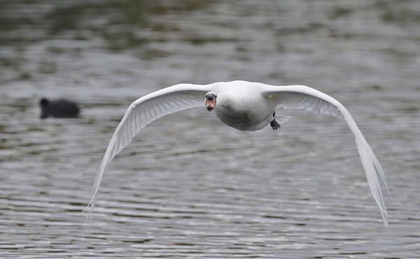 Swan Flying by Fatronnie