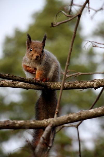 Napoleon squirrel