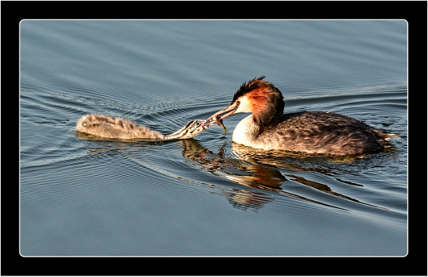 Great Crested Grebe and Young by dven