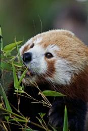 Photo : Red Panda.