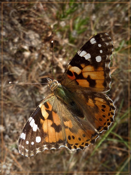 painted lady by CarolG