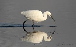 Little egret dribbling