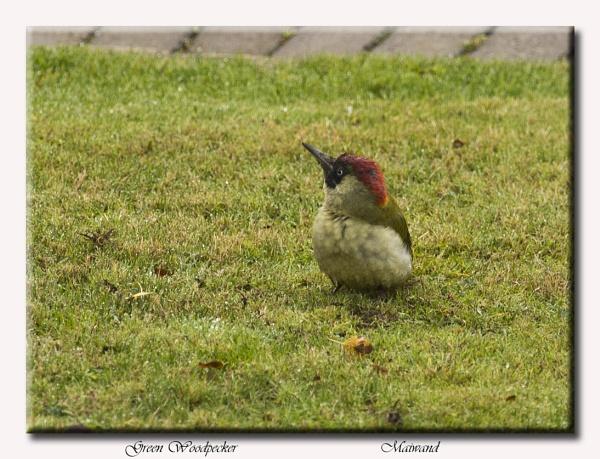 Green Woodpecker by Maiwand