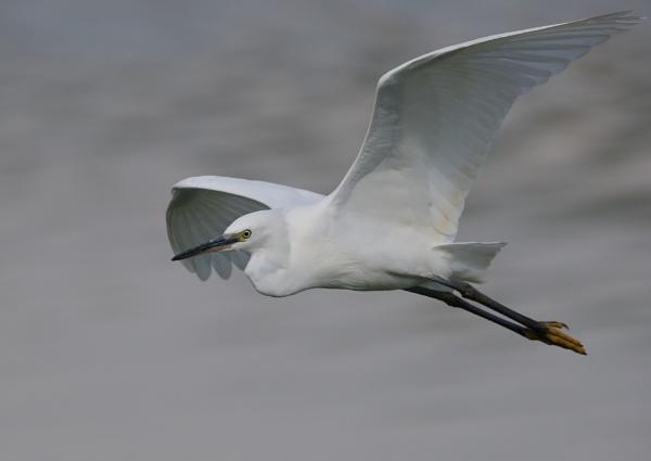 Egrets in Flight by NeilSchofield