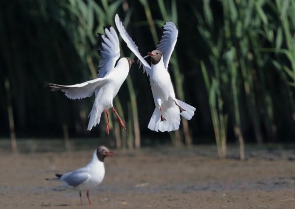 Gull Spat by NeilSchofield
