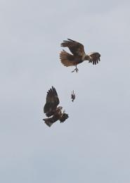 Marsh Harriers Feeding in Flight