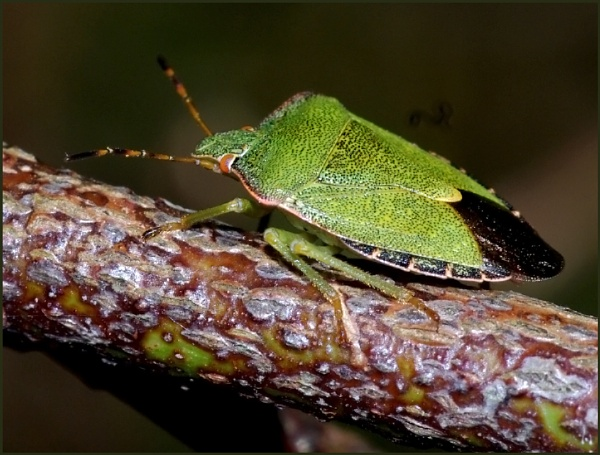 ""\""""Green Shield Bug on Rosa canina"""". by Badgerfred""600|455|?|en|2|5a99b19a7b1f8e727e2ccf7bd543d4e1|False|UNLIKELY|0.28309932351112366